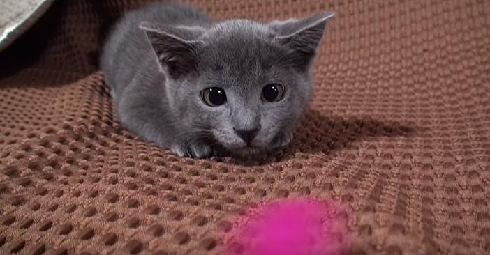 耳がペターンとなる子猫