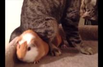 モルモットに場所をとられた猫