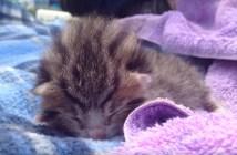 寝ながら鳴く子猫