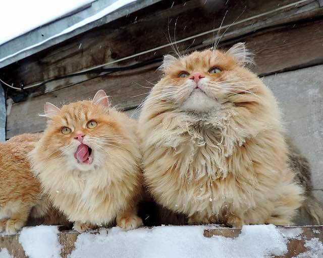 モフモフのサイベリアン猫
