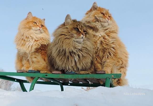 ポーズをとるモフモフの猫。サイベリアン