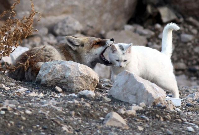 猫を甘噛みするキツネ