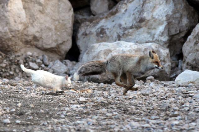 いっしょに走るキツネと猫