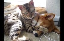 柴犬にかまってほしい猫