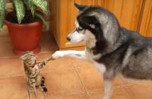ハスキー犬の謎の行動に戸惑う子猫