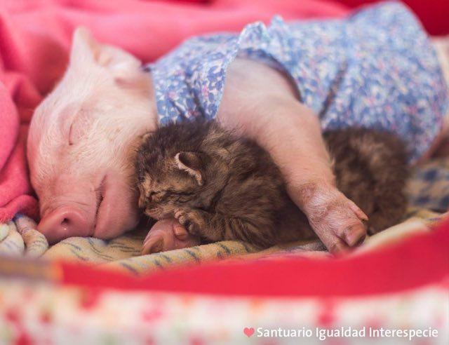 気持ちよさそうに眠る子ブタと子猫
