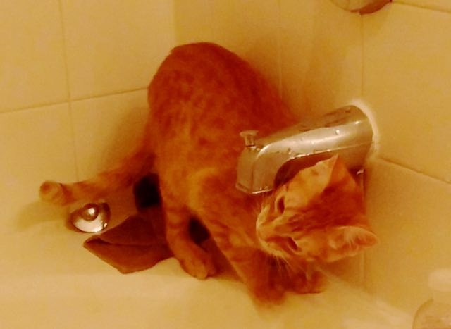 面白い水の飲み方をする子猫