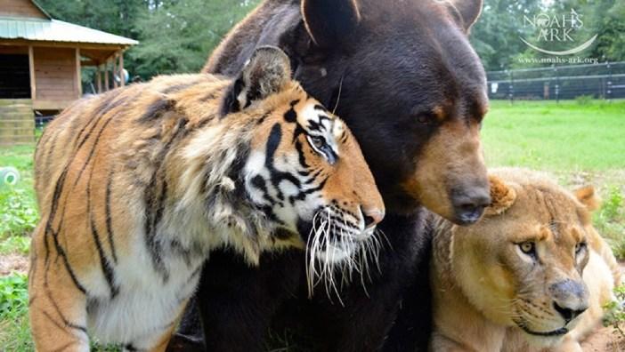 仲良しなトラとライオンとクマ