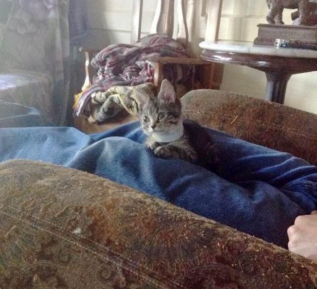 膝の上の子猫