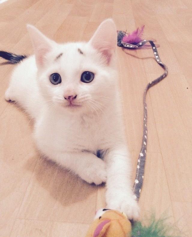 オモチャで遊ぶ困り顔の猫