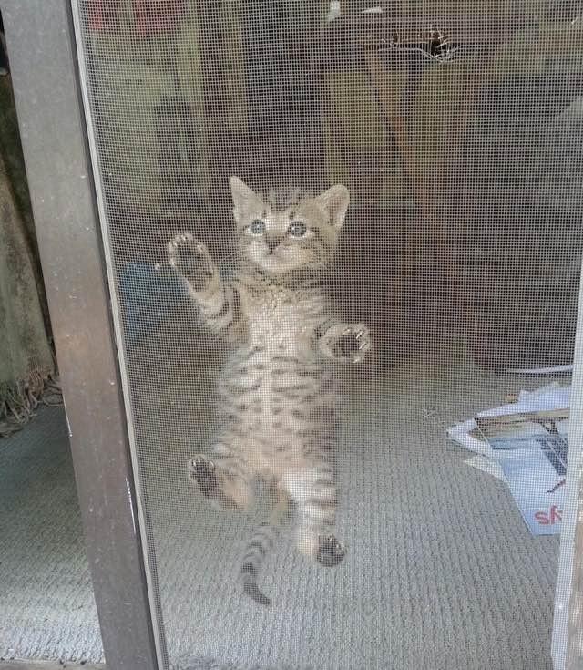 網戸にくっつく子猫