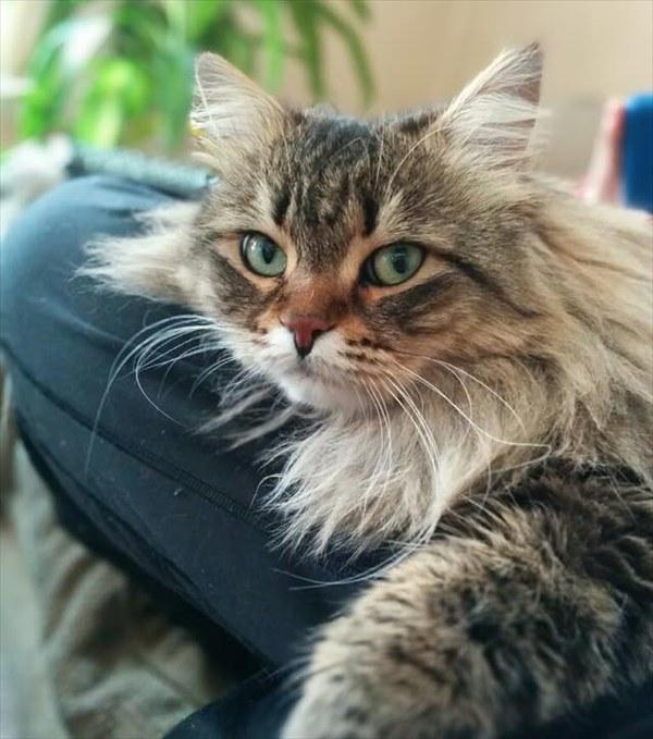 飼い主さんの膝の上でくつろぐ猫