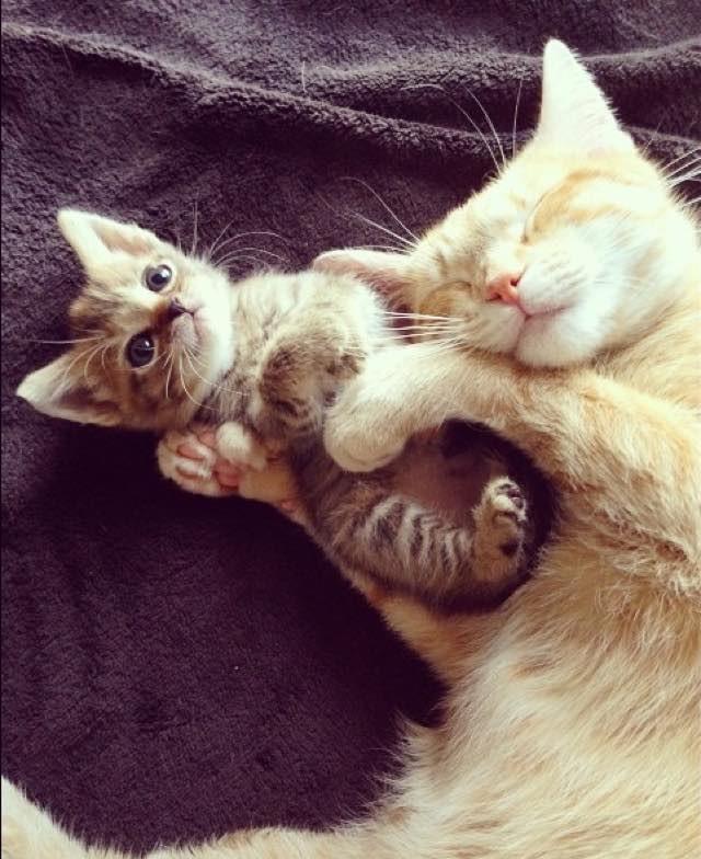 子猫を育てる先住猫