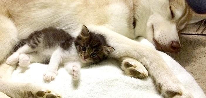 ハスキー犬に育てられた猫。子猫を育てる