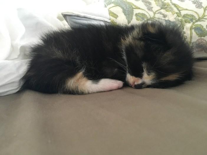 スヤスヤと眠る子猫