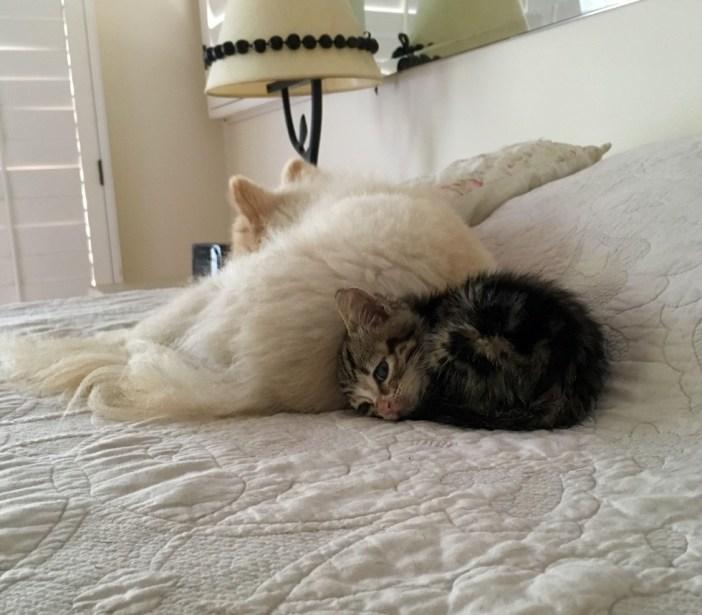 いっしょに眠る犬と子猫