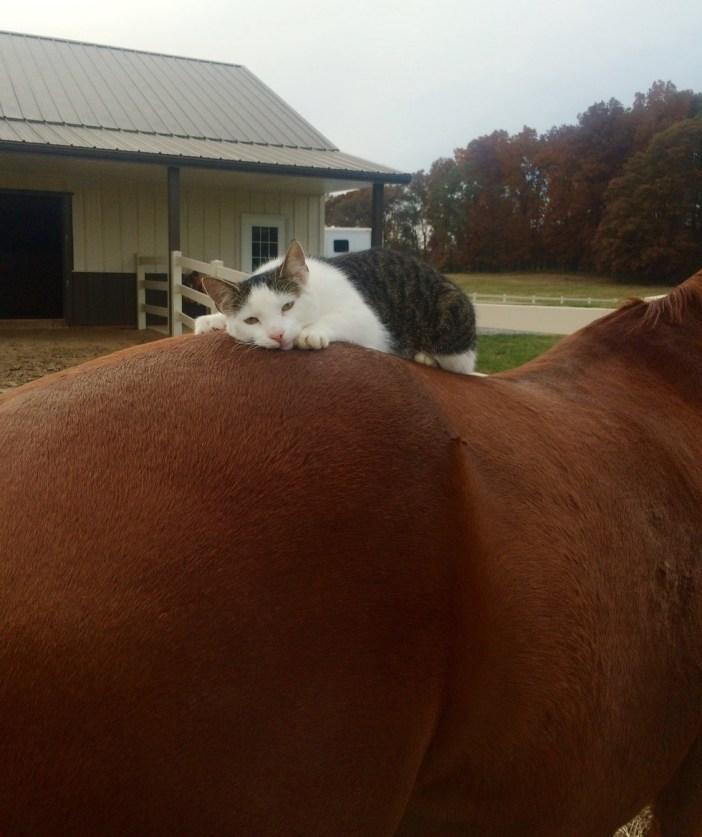 馬の背中で昼寝をする猫