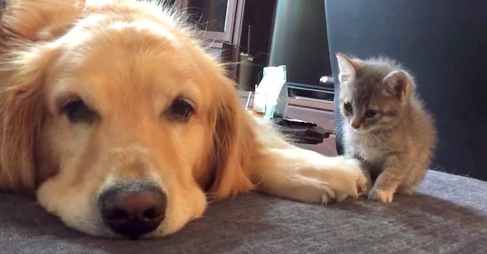大型犬に挨拶する子猫
