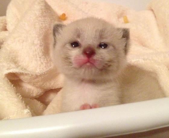 生後3日で保護された子猫