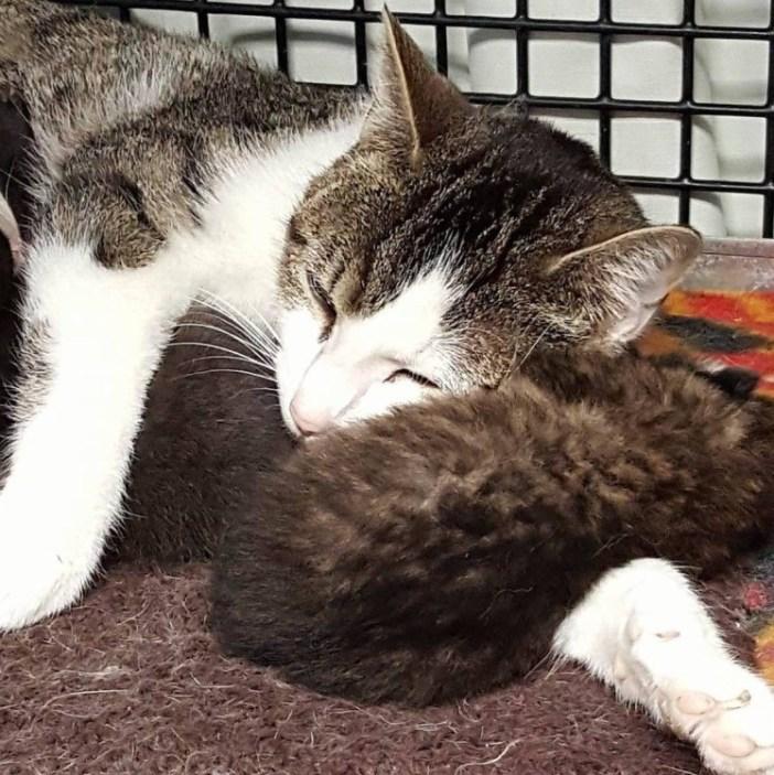 猫のお母さんの腕枕で眠るボブキャット