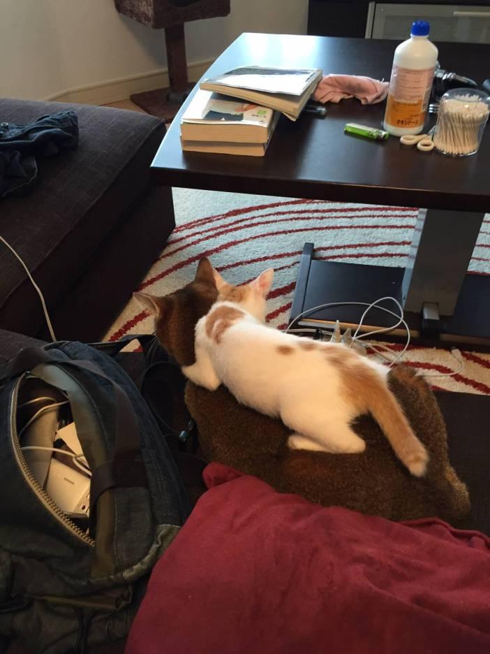 先住猫の乗る子猫