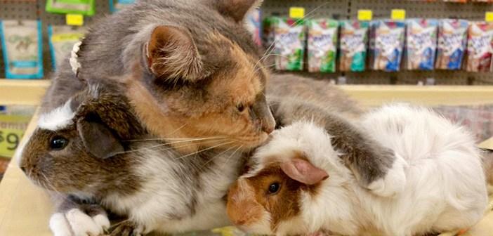 モルモットが大好きな猫