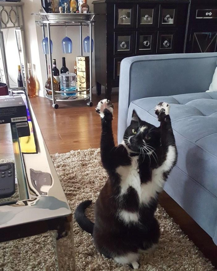 面白いポーズでバンザイする猫