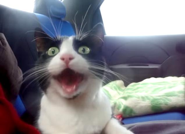 車に驚く猫