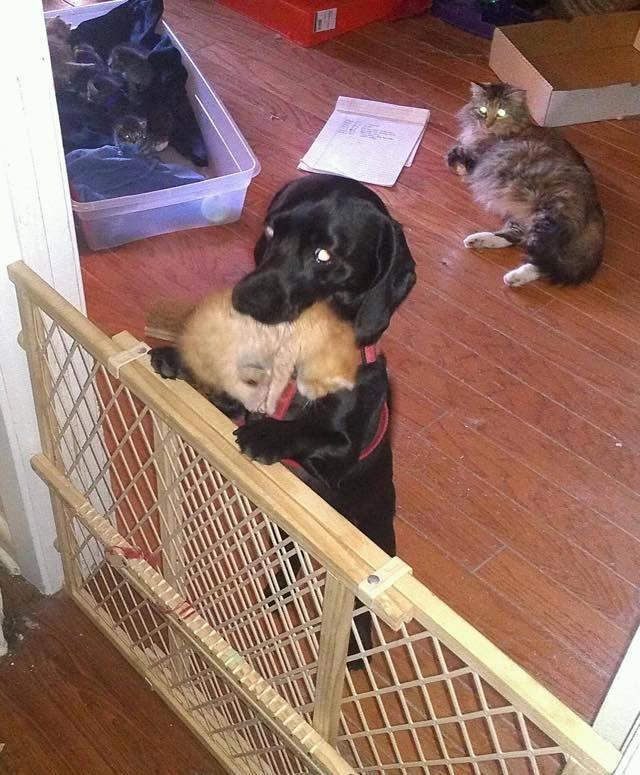 子猫を運び出す犬