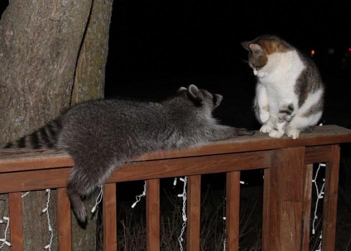お話しする猫とアライグマ