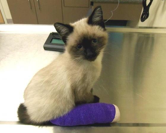 足を治療している子猫