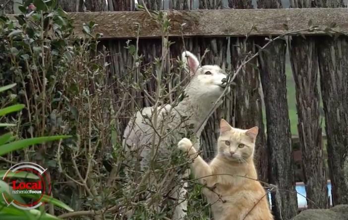 遊ぶ猫と羊