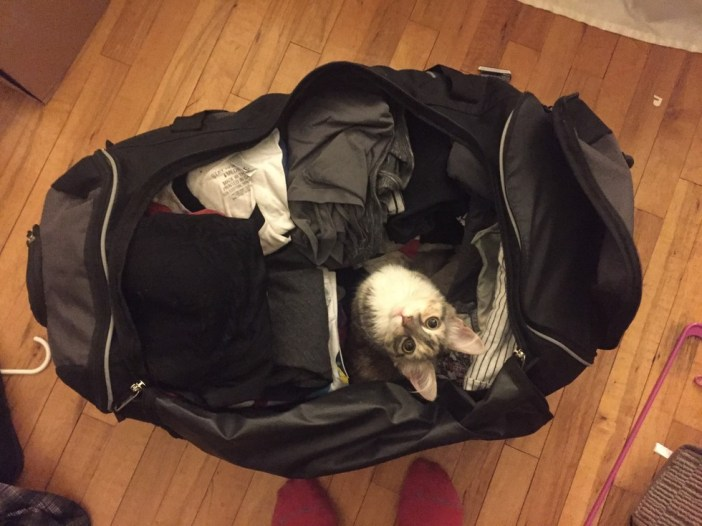 カバンに入る子猫