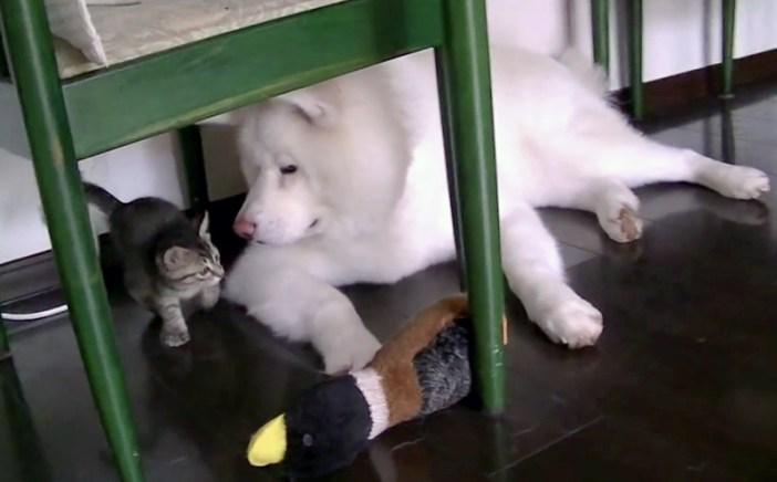 子猫を見る大型犬