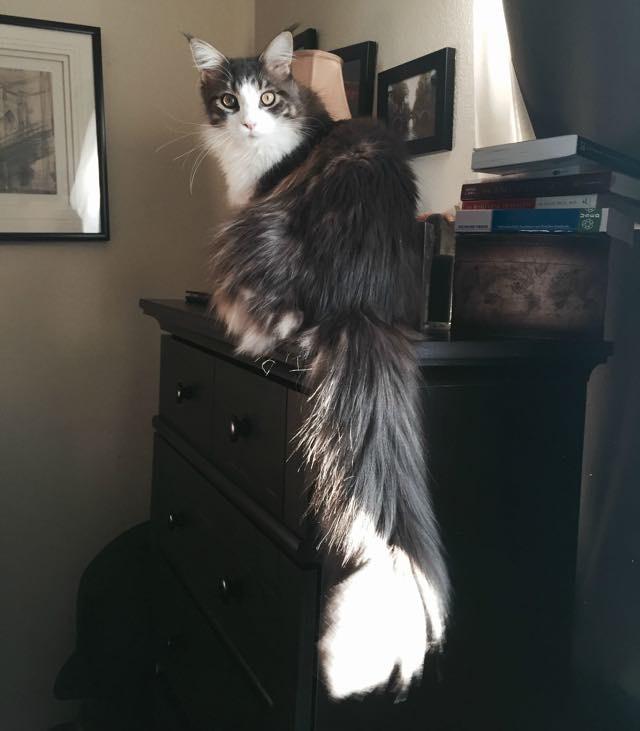 長いシッポの猫