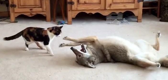 猫とコヨーテ