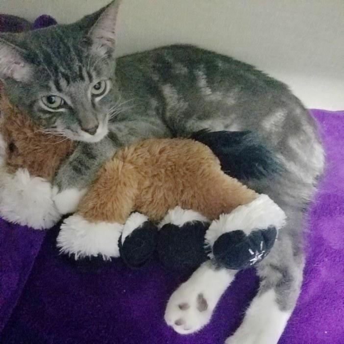 ぬいぐるみを抱っこする猫