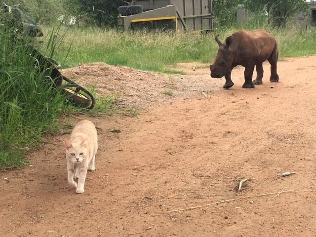 散歩するサイと猫