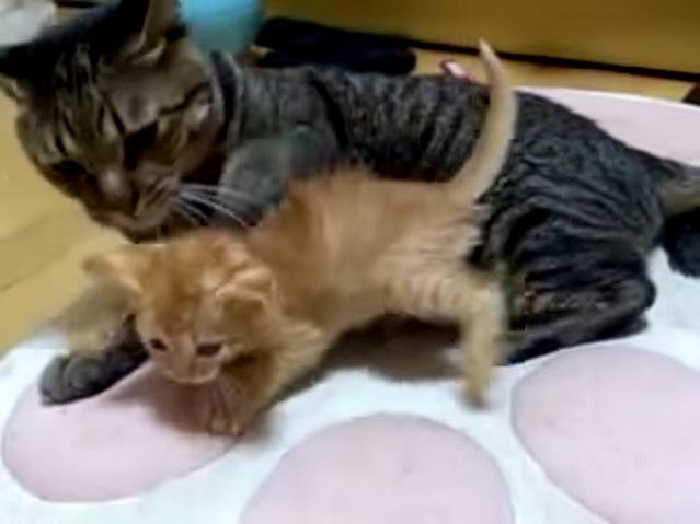 子猫を捕まえようとする猫