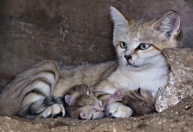 サンドキャットの子猫と母猫