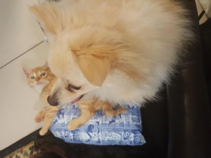 子猫に乗っかる犬