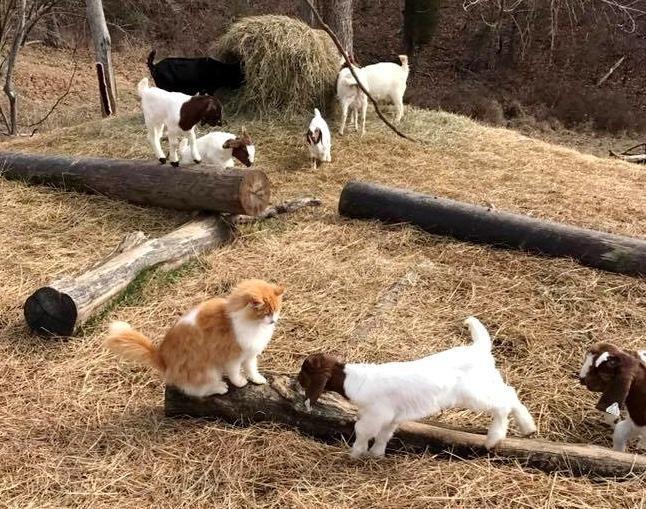 子ヤギと遊ぶ猫