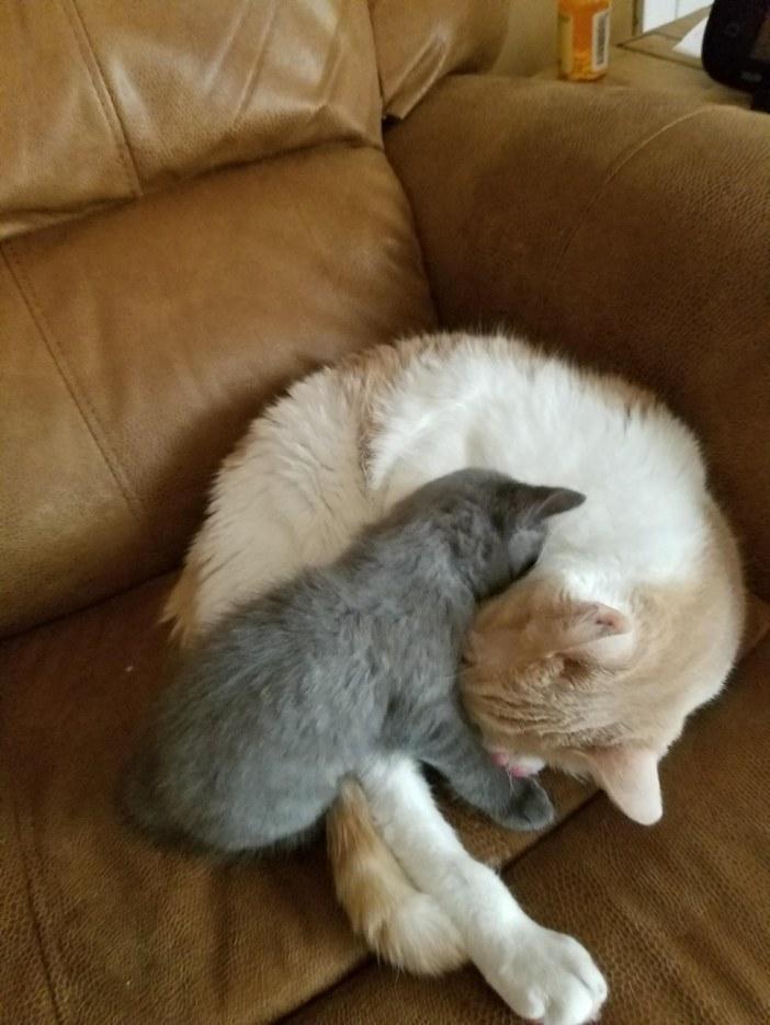 ソファーの上の子猫と猫