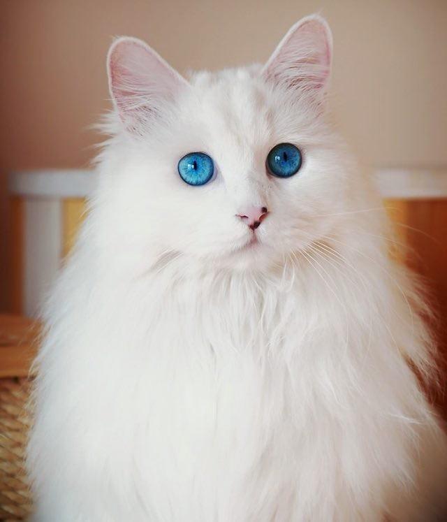 青い瞳の猫