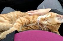 膝で眠る猫