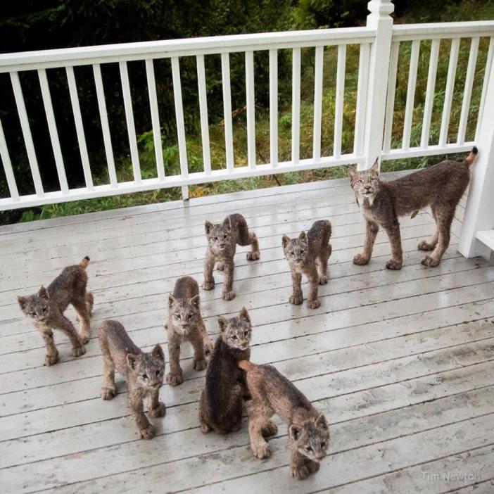 オオヤマネコの家族