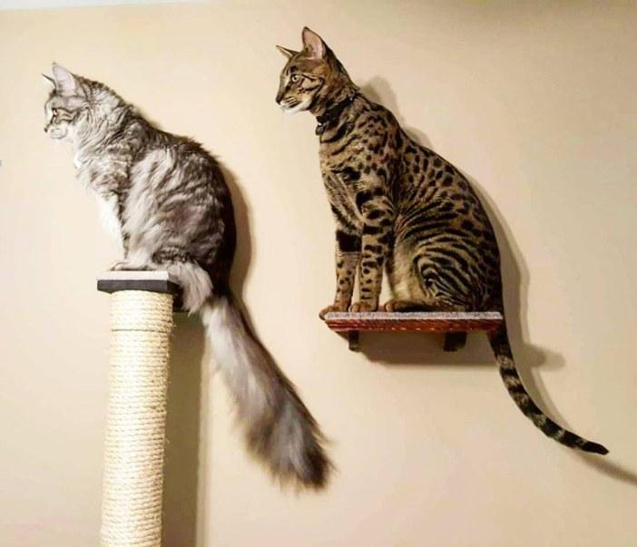 大きな猫とシッポの長い猫