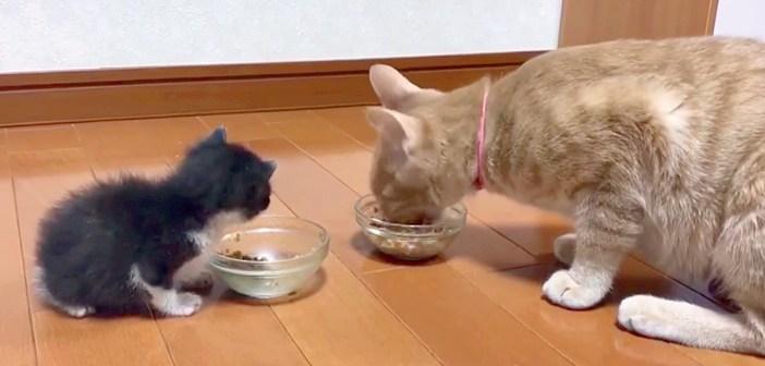 ご飯が気になる子猫