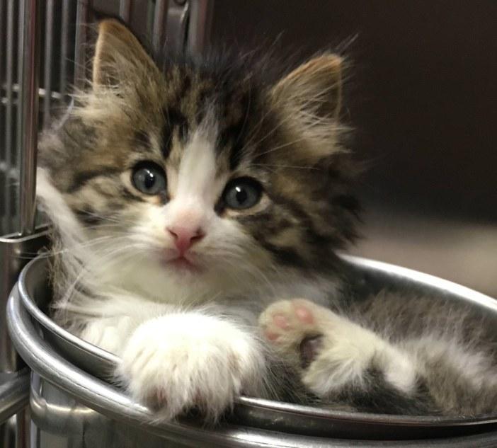 ボウルに入って見つめる子猫