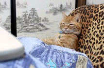 コタツでくつろぐ猫